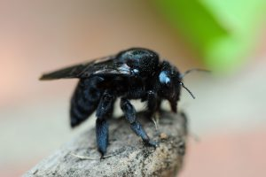 carpenter_bee
