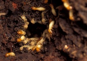 subterranean_termites