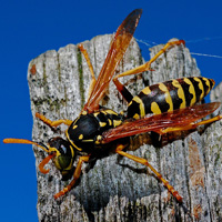 wasp_square